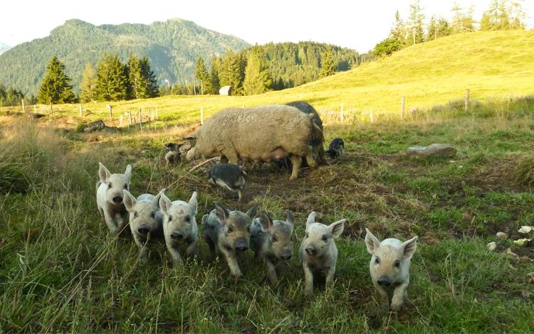 schweine schlachthöfe in europa