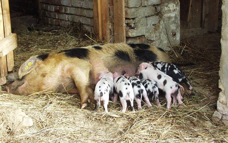 schweine artgerechte haltung